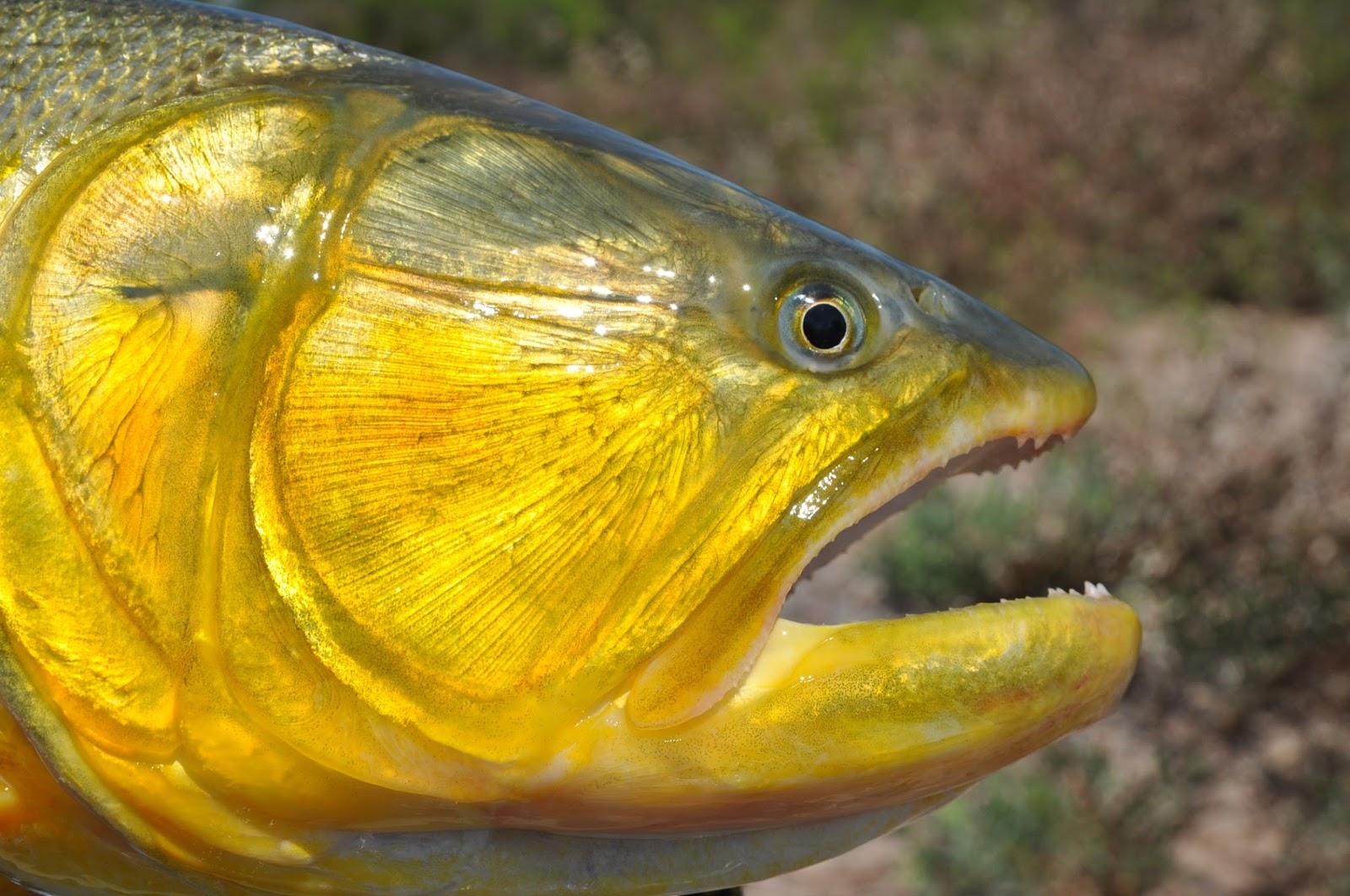 Virginia tech ichthyology class the river tiger golden for Golden dorado fish