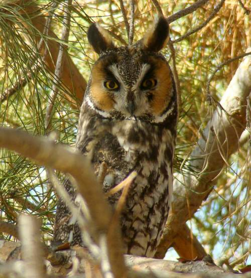 Indian birds - Image of Northern long-eared owl - Asio otus