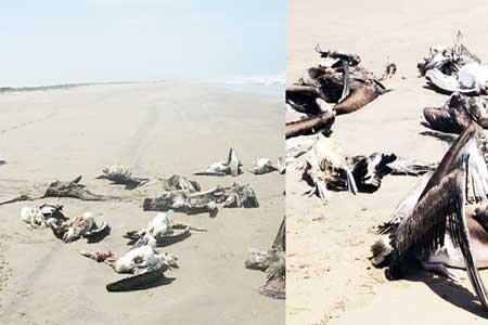 Muerte pelicanos Peru