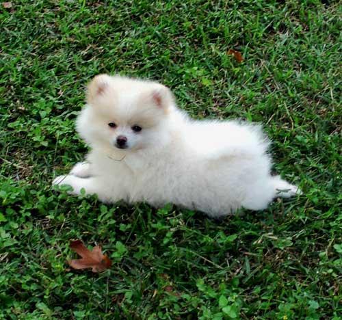 Crystal 's Diary ♥: Pomeranian!