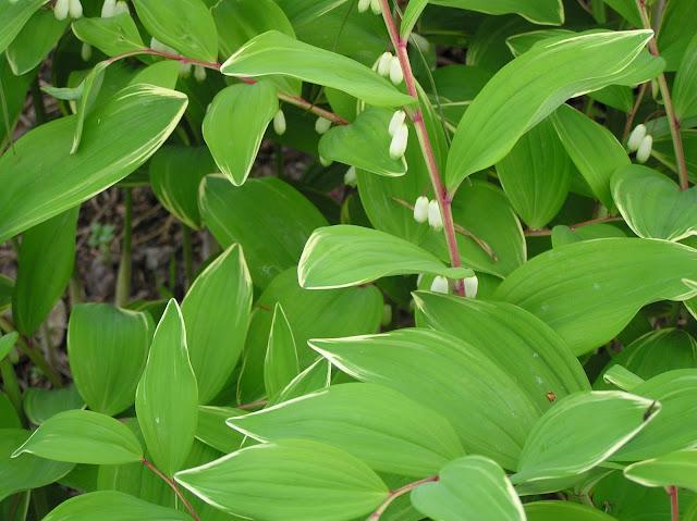 liście kokoryczki