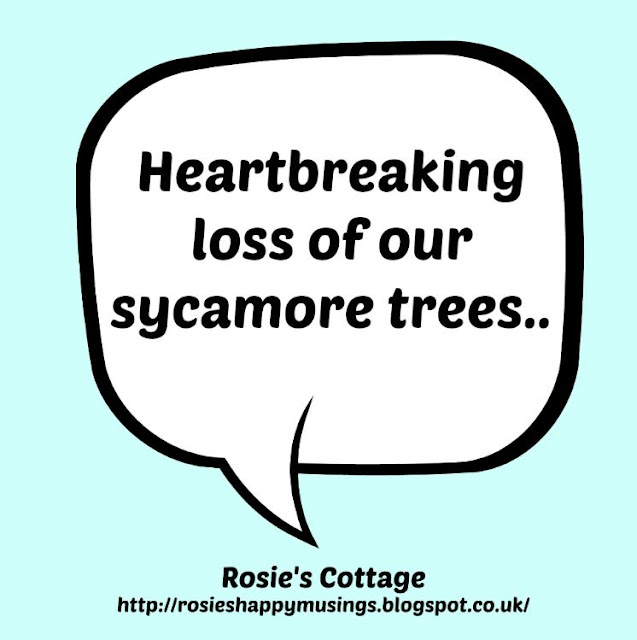 Losing our sycamore trees