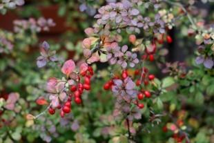 Berberys opis, działanie i zastosowanie w leczeniu - ziołolecznictwo