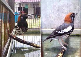 punglor kembang borneo www.burung45.blogspot.com