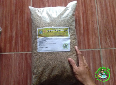 MUSTOPA Subang, Jabar.  Pembeli Benih Padi CAKRABUANA 02 (CB02) 90 HST Panen