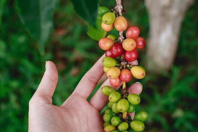 manfaat-kopi-hijau-bagi-kesehatan,www.healthnote25.com
