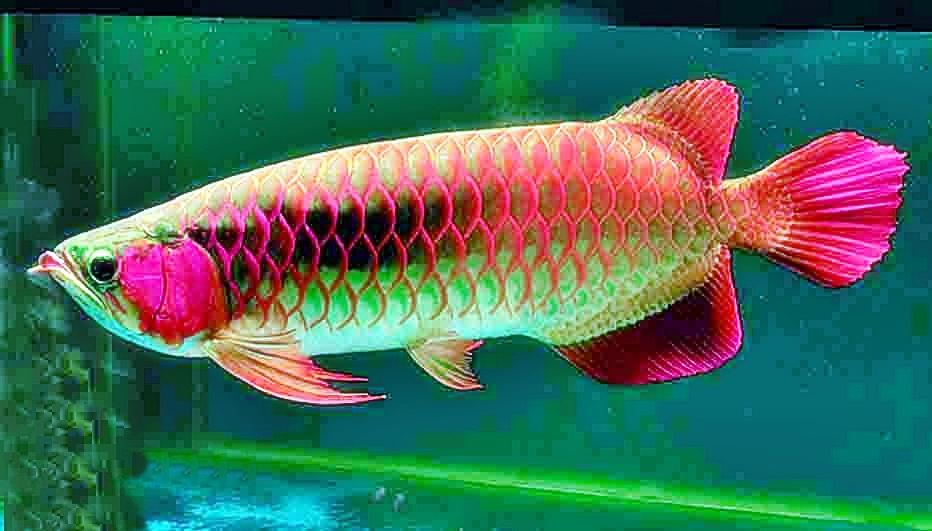 Cara Budidaya Ikan Arwana Aneka Ikan Hias