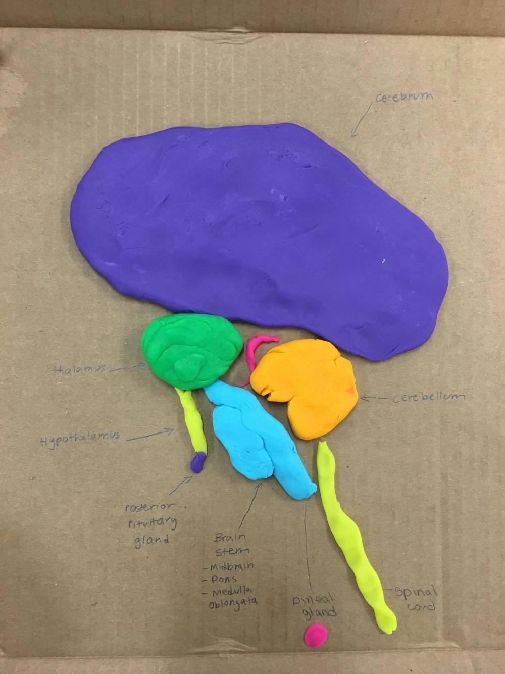 Theron\'s Anatomy/Physiology Record: Clay Brain In-Class Model ...