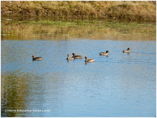 Bandada de patos silvestres - Chacra Educativa Santa Lucía