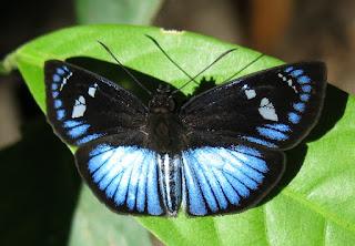 Pythonides jovianus, Variable Blue Skipper