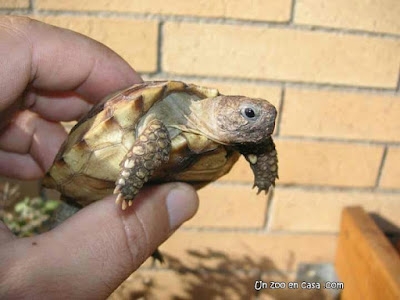 Tortuga argentina (Chelonoidis chilensis)