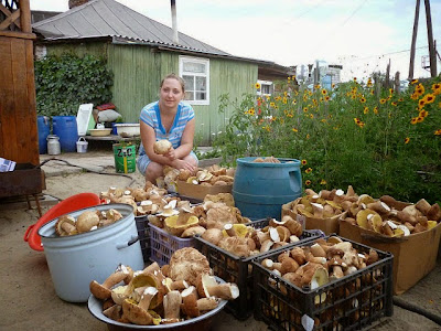 Грибы, как вырастить грибы,подосиновики,подберезовики,опята,грибы на даче,Mushrooms, how to grow mushrooms,aspen mushrooms,boletus,porcini mushrooms,mushrooms in the country,Pilze, wie Sie wachsen Pilze,Espe,Steinpilze,Pilzen,die Pilze auf dem Lande,