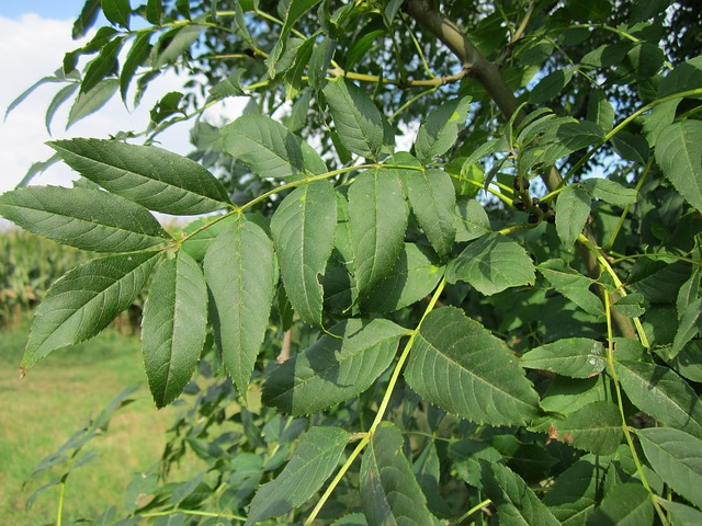 Plantes ornementales : Frêne