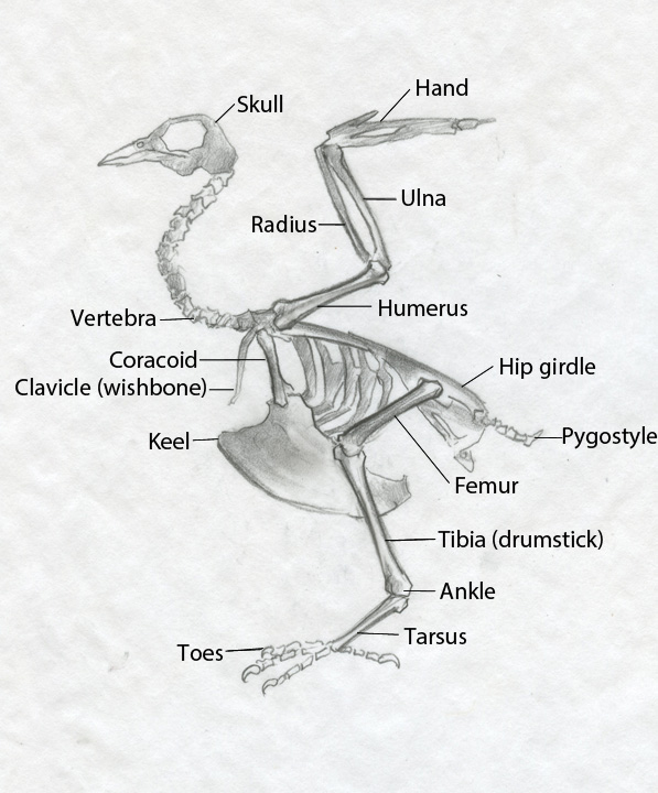 Duck Wing Diagram 2009 Jeep Wrangler Unlimited Radio Wiring Sandy Scott Art: #416 In The Studio: Bird Anatomy, Con't