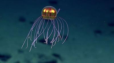 Cientistas encontram água-viva misteriosa na região mais profunda dos oceanos