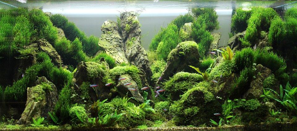một bố cục thủy sinh đẹp dùng nhiều rêu flame