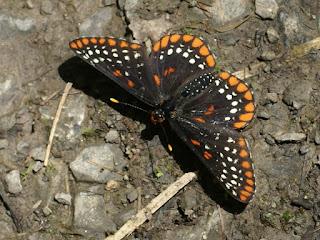 Baltimore - Euphydryas phaeton