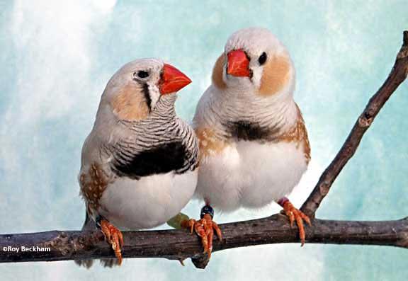 păsări eye eye chilli pierdere în greutate)