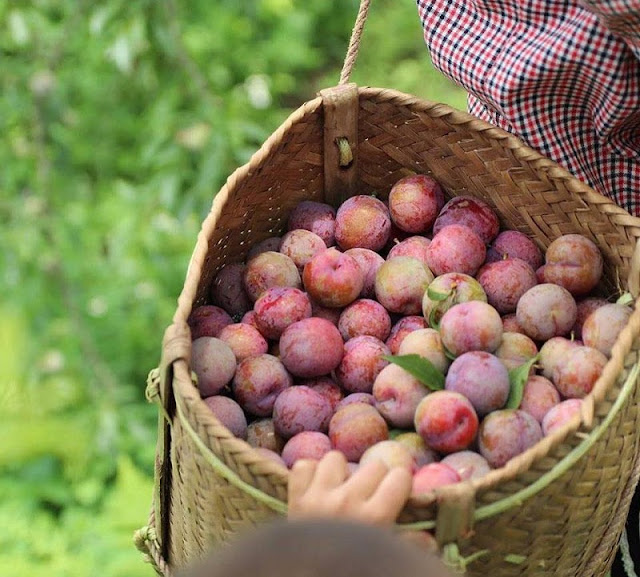 Moc Chau travel is nothing special in the season of ripe plum?