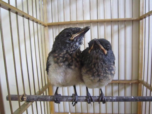 Phân biệt chim chích chòe than non trống mái