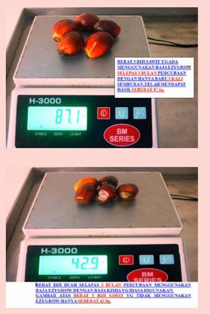 buah kelapa sawit lebih berat