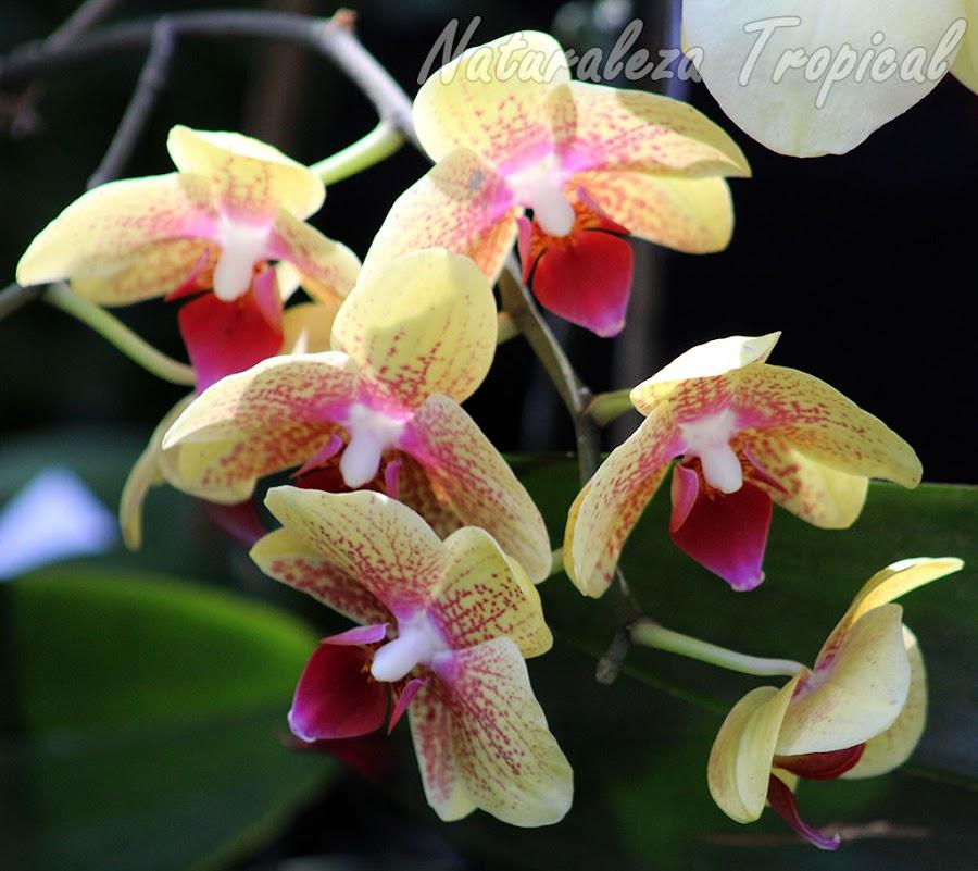 Pétalos y sépalos amarillos con puntos rosáceos y labelo rojo-púrpura. Orquídea Mariposa (género Phalaenopsis)