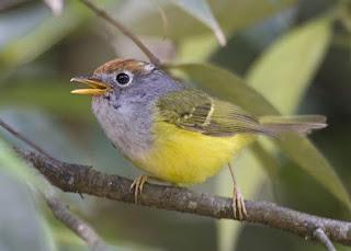 Burung cikrak mahkota atau Cikrak mahkota-coklat maupun cikrak mahkota kuning ini merupakan salah satu jenis burung cikrak yang dapat dijumpai di Indonesia. Dalam bahasa Inggrisnya burung ini dikenal dengan Chestnut-crowned warbler yang memiliki nama latin (Seicercus castaniceps).