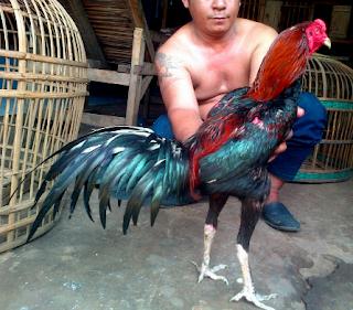 Tips Jitu Mengobati Luka Ayam Aduan Setelah Bertanding