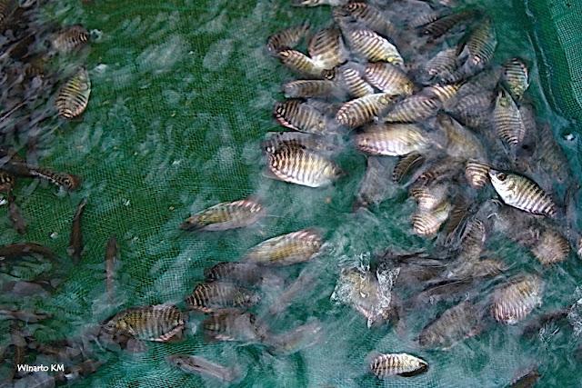 Tidak Di Sangka, Setelah Banyak Yang Gagal Ternyata Seperti Ini Cara Yang Benar Untuk Memelihara Ikan, Amazing