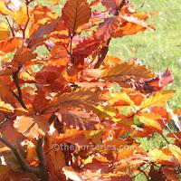 http://www.thenurseries.com/beech-green-fagus-sylvatica-bare-root-hedging-plants-80cm-p-1977.html
