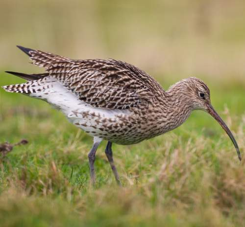 Indian birds - Picture of Eurasian curlew - Numenius arquata