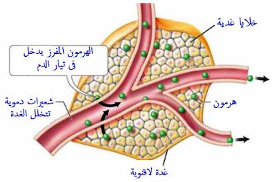 الغدد الصماء اللاقنوية
