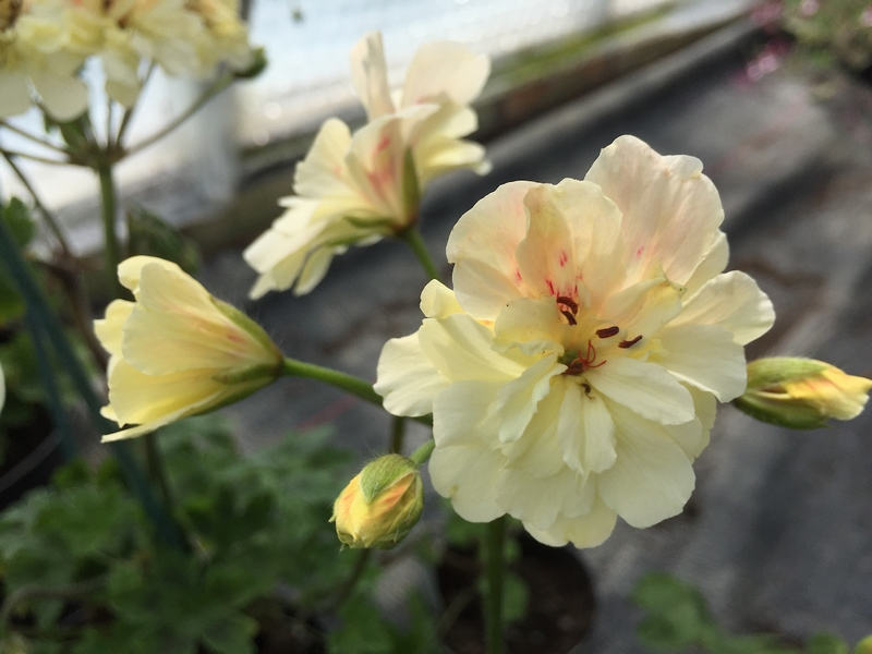 Pelargonium Rushmoor Amazon (Fibrex Nurseries)