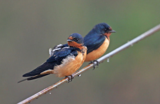 Barn swallow behaviour shift may be evolutionary
