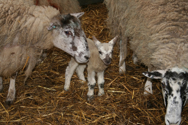 Lambs so cute & cuddly - At a farm near you in the North East