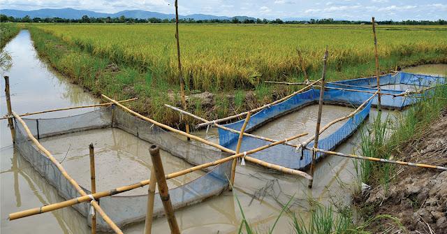 Ternak Lele  Memulai Bisnis Budidaya Ikan Lele Mempersiapkan Kolam