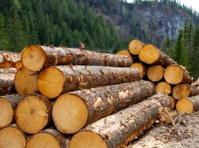 Timber logging pine forest in Austrian Alps