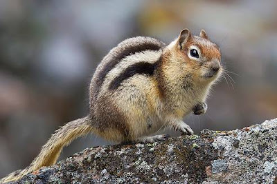 Indian Palm Squirrel - animals starting with letter I