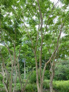 Heptacodion de Chine - Heptacodium miconioides