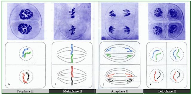 Schémas illustrant les différents stades de la méiose II