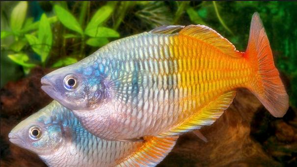 Budidaya Ikan Rainbow Boesemani