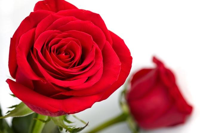Contoh Gambar Bunga Mawar Merah Tracy Notes