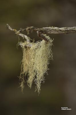 サルオガセ ≪Beard Lichen≫