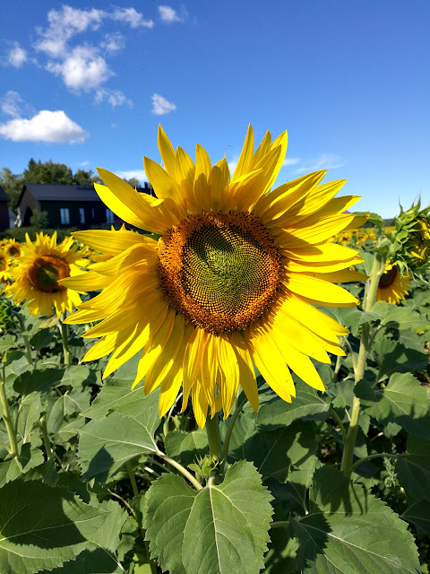 A Beautiful sunflower