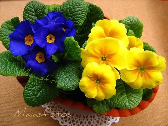 Blue and%2Byellow primroses