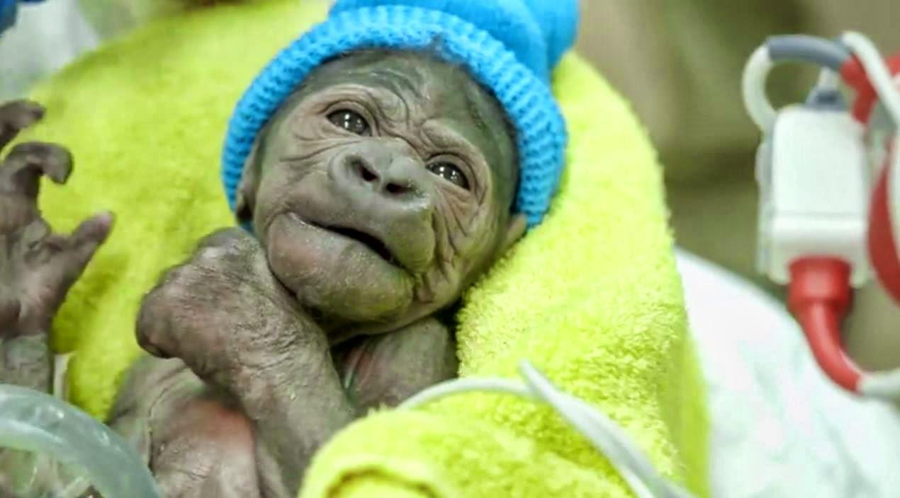 54157a562474 La pequeña gorila nació pesando poco más de 2 kilos. Actualmente es  atendida por veterinarios y asistentes del zoo de la cuidad de California.