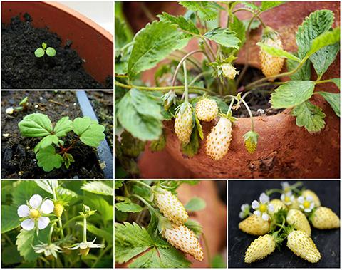 Mẹo bỏ túi để trồng dâu tây vàng trĩu trịt quả