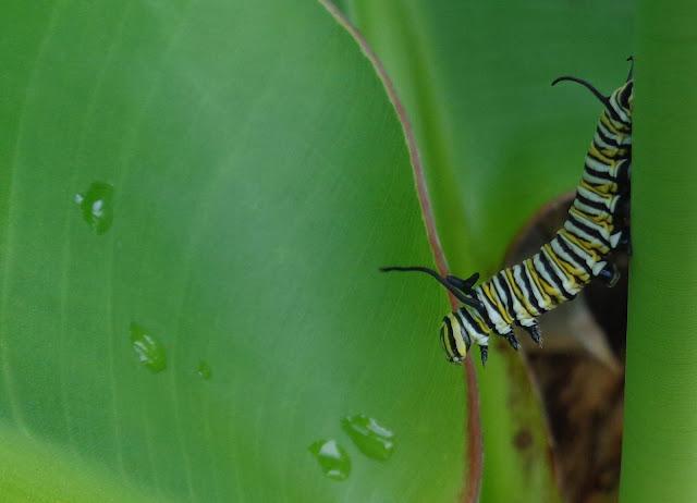 Monarch Caterpillar Reaching
