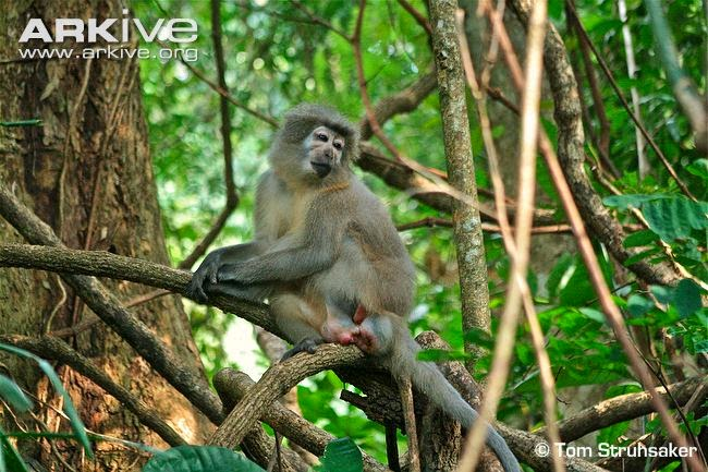 african endangered mangabeys