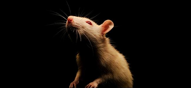 فأر أبيض على خلفية سوداء